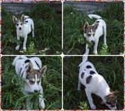 Озорной щенок ищет заботливого хозяина